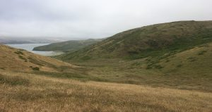 The herd of elk (very hard to see in the center of this photo) consisted of male and female adults and a couple of calves, all browsing and lolling about in White Gulch. Tomales Bay is in the distance. (Photo by Allison Kidder)