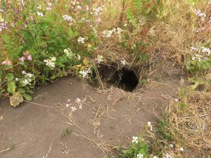 Close up of American Badger burrow on the side of the trail near Pierce Ranch, Point Reyes National Seashore. (Photo by Allison Kidder)